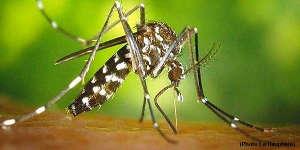 Alerte rouge au moustique tigre