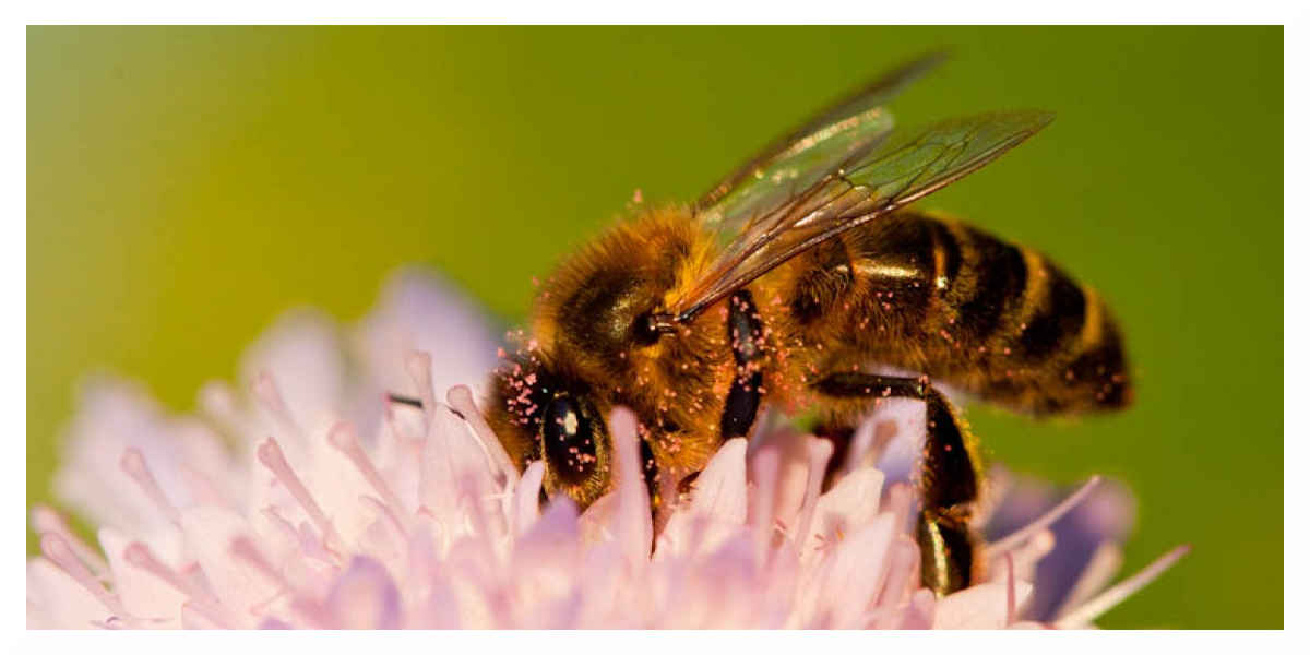 Abeilles: les pesticides Closer et Transform suspendue en justice