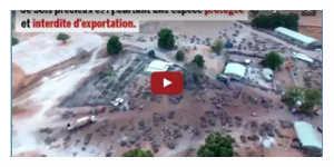 Le pillage pour la Chine des dernières forêts du Sénégal