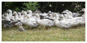 600.000 canards encore vivants dans les Landes vont être abattus