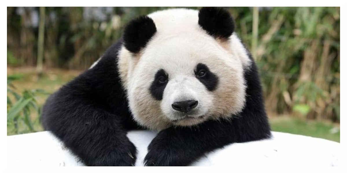 Une femelle panda en gestation au Zoo de Beauval
