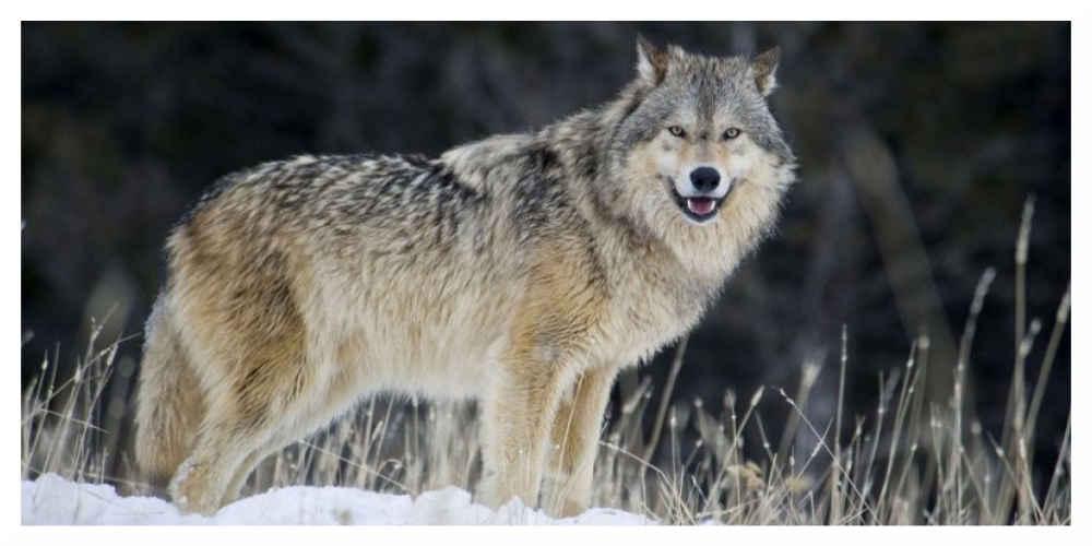 40 loups pourront être abattus d'ici au 31 décembre 2018