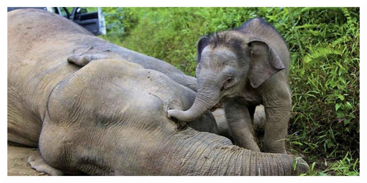 L'administration Trump autorise à nouveau l'importation de trophées d'éléphant