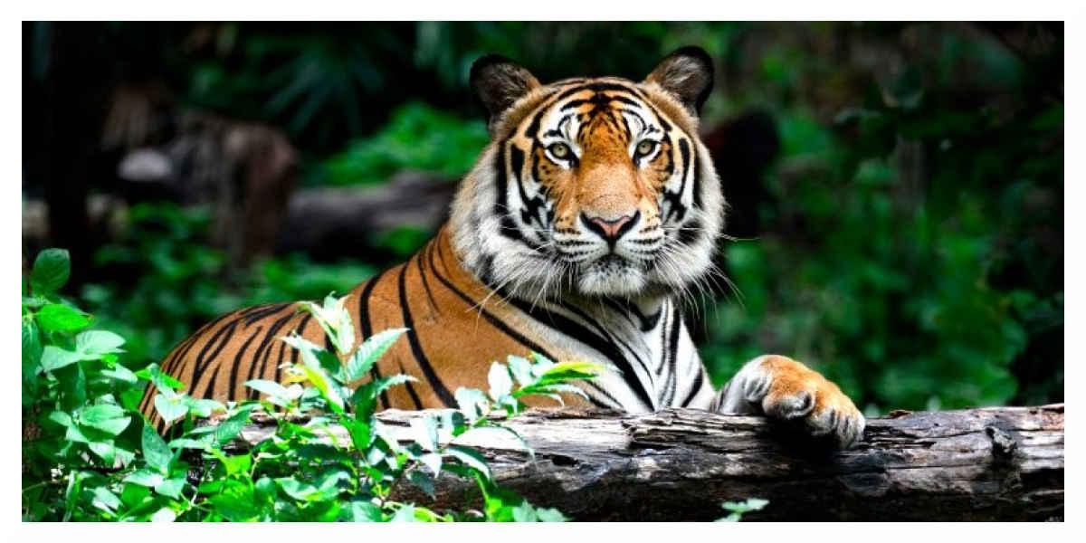 Tigre abattu à Paris : le propriétaire en garde à vue