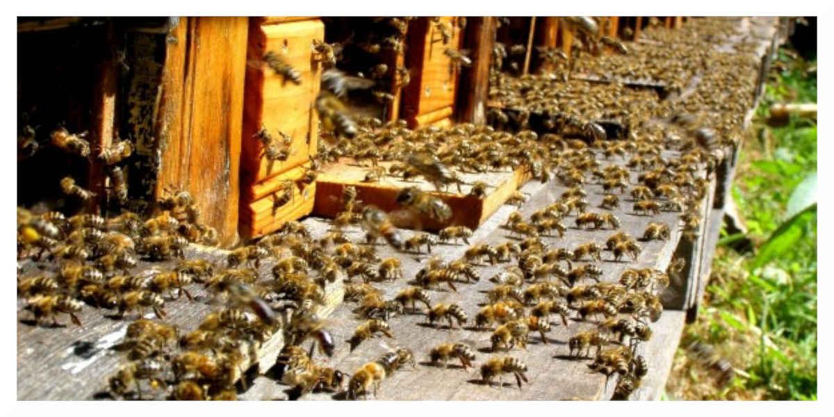 Pesticides: Les tueurs d'abeilles, interdits à partir de samedi en France