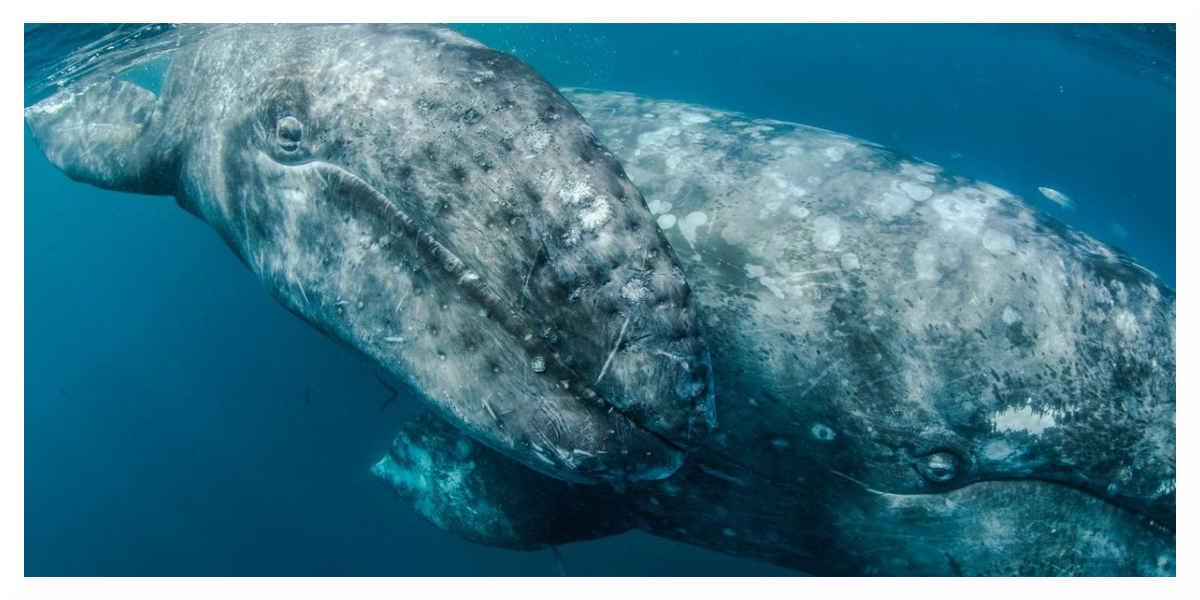 Baleine Boréal
