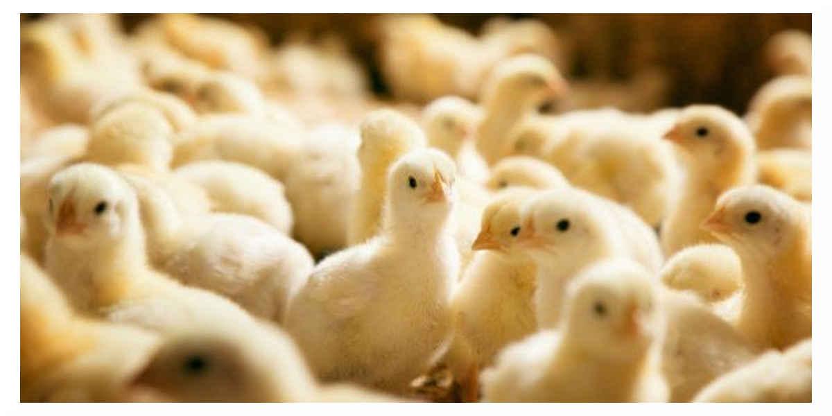 La France va mettre fin au broyage des poussins mâles et la castration des porcelets à vif