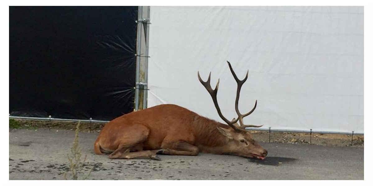 Pauvre cerf en pauvre état à la suite d'une chasse a courre
