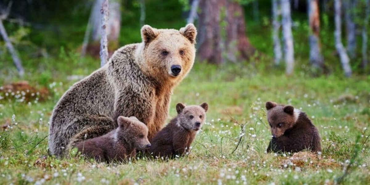 L'Europe demande une nouvelle réintroduction d'ours dans les Pyrénées