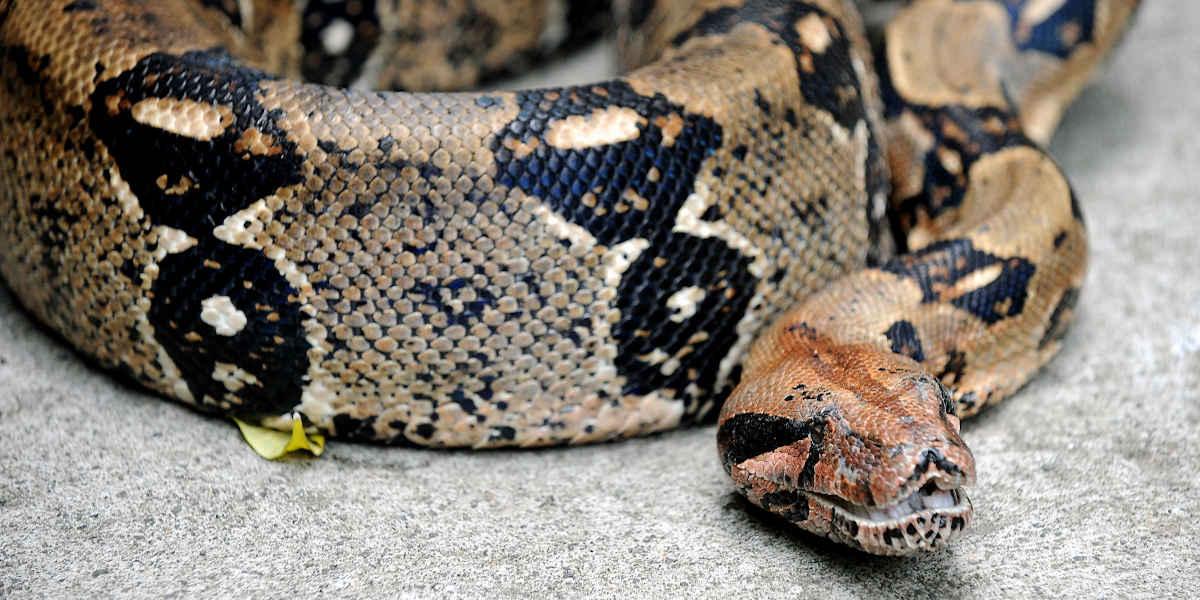 Peta dévoile des images de serpents tués pour leur peau