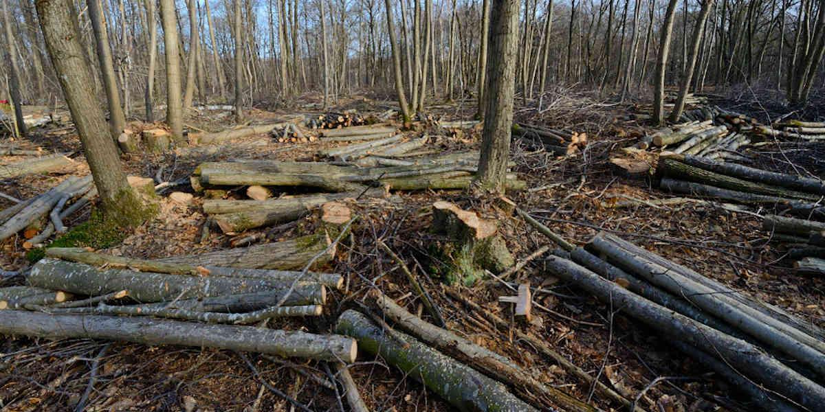 L'enquête se poursuit après l'abattage illégal de centaines d'arbres