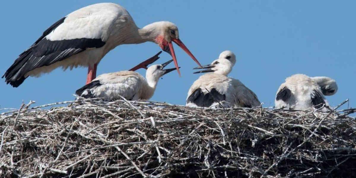 Les cigognes blanches s'implantent dans d'autres départements que la Charente-Maritime