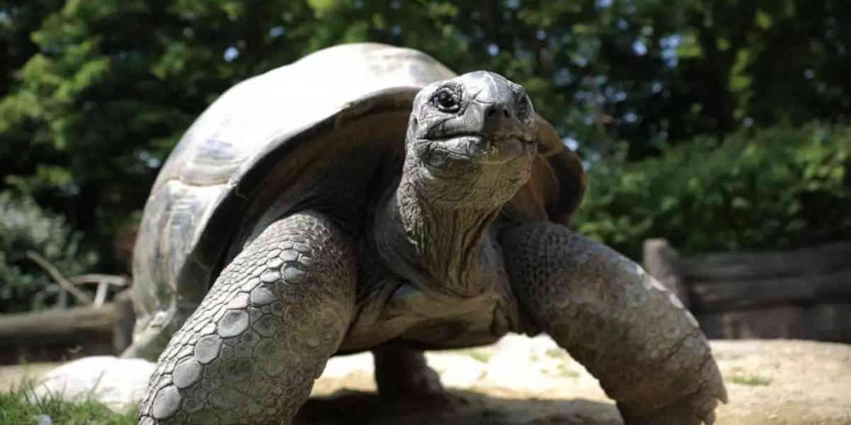 Une tortue géante déclarée éteinte découverte aux Galapagos