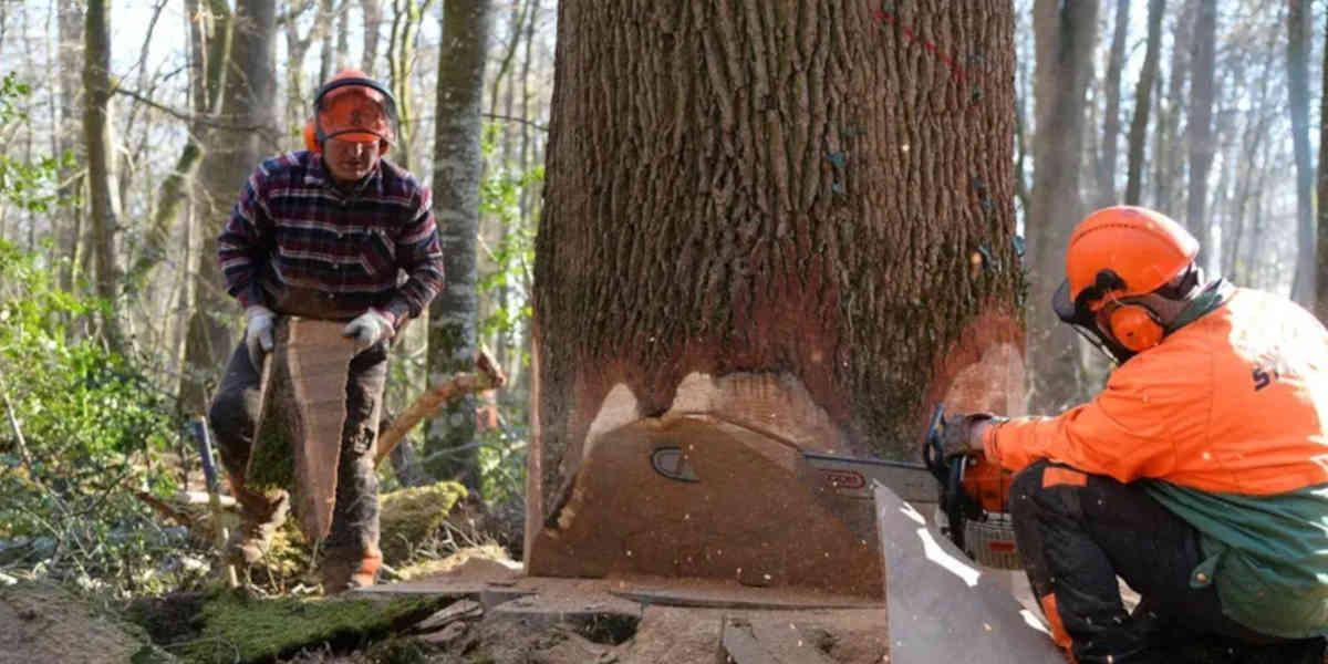 Le bois de chêne français peu à peu grignoté par la Chine