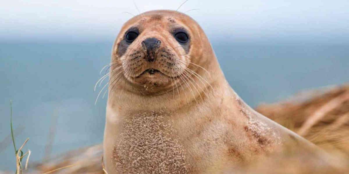 750 euros sera la somme à payer si vous dérangez les phoques dans la baie de Somme