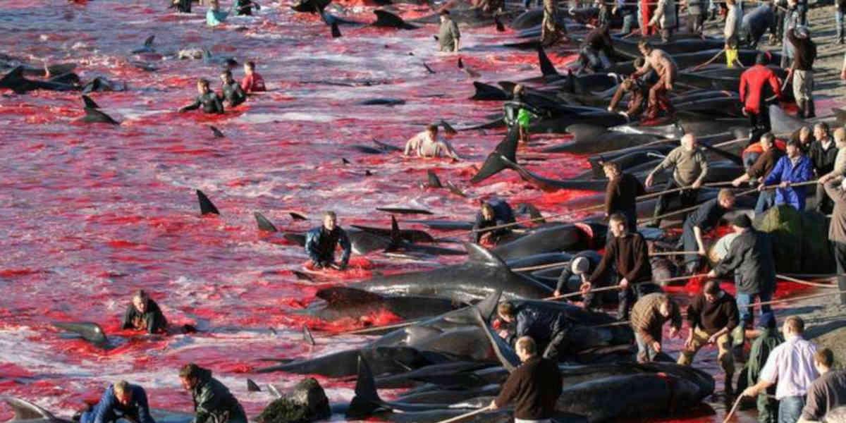 Iles Féroé : plus de 1400 dauphins abattus lors d'une chasse traditionnelle au Danemark