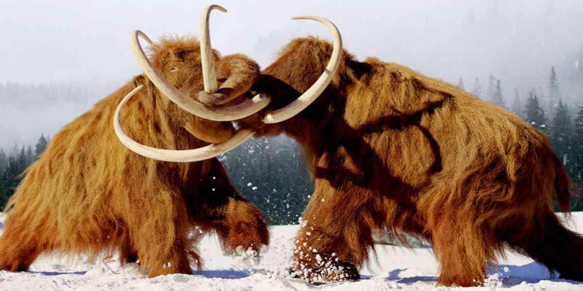 Selon une étude, les mammouths, rhinocéros laineux... Ils se seraient éteints plus tard qu'on le croyait