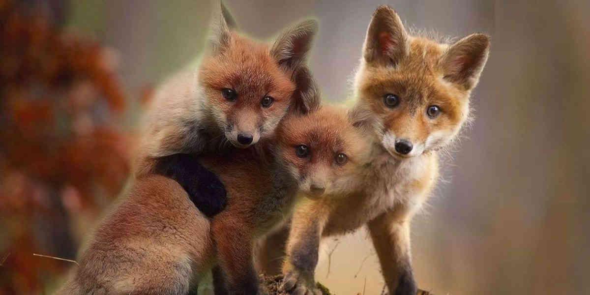 Dans l'Oise, la justice suspend un arrêté préfectoral qui prévoyait l'abattage de 1700 renards !